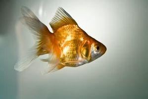 Cómo cuidar a Goldfish en un tanque