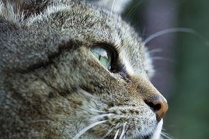Antibiótico Gotas para los ojos de los gatos