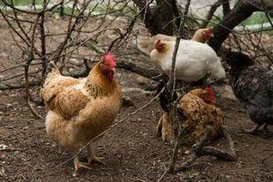 Cómo hacer cajas nido para Pollos