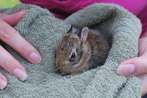 Cómo quitar un conejo macho de una jaula Cuando los kits nacen