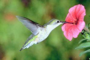 Requisitos para la alimentación diaria de los colibríes