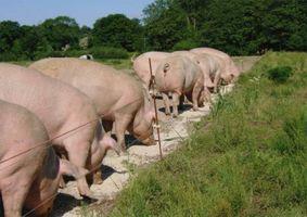 ¿Qué hacen los agricultores a alimentar a los cerdos?