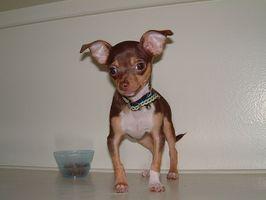 ¿Cuáles son los peligros de la pulpa de remolacha en los perros?