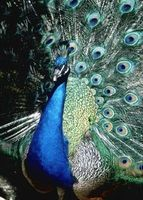 Cómo Sexo Peafowl