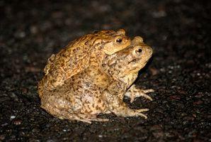 Cómo saber la diferencia entre la rana y sapo renacuajos