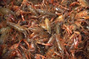 Cómo configurar una granja de agua dulce del cangrejo de río