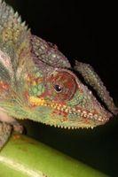 La diferencia entre un camaleón y un Gecko