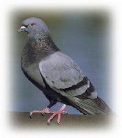 Cómo atrapar palomas