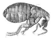 Cómo hacer Recetas hechas en casa para deshacerse de las pulgas