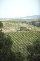 Lo uvas se utiliza en el vino espumoso italiano?