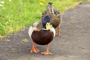Cómo saber si tiene un pato enfermo