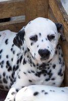 Los nemátodos en un cachorro