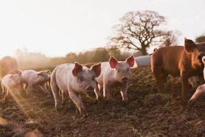 Cómo alimentar a los cerdos en crecimiento