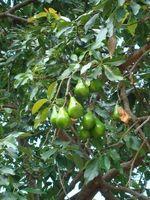 Acerca de árboles de aguacate