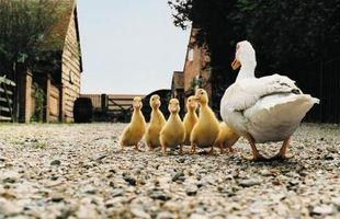 ¿Qué se puede alimentar a un pato?