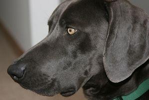 Remedios caseros para los oídos inflamados en los perros