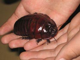 ¿Cuál es la diferencia entre las cucarachas y los insectos acuáticos?