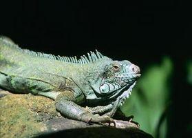 Cómo tratar una iguana Para oxiuros