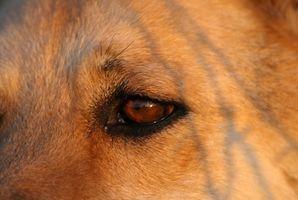 Prueba de glaucoma para perros