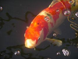 Cómo mover Koi de los estanques para acuarios