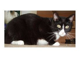 Los síntomas de Bartonella en gatos