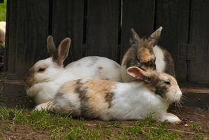 Cómo tratar la sarna y ácaros para Conejos