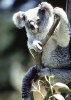 Características de mamíferos de las koalas