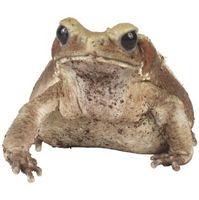 Cómo saber la diferencia entre una rana y un sapo
