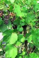 La historia de hojas de la uva