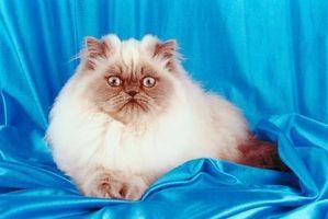 Cómo criar gatos Himalayan como un negocio