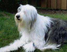 Cómo preparar un gran perro de pelo largo