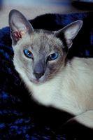 Datos acerca de los gatos siameses de la historia