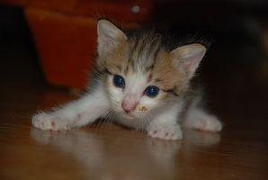 Tenia en un gatito