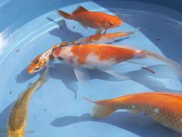 Historia Goldfish ornamental