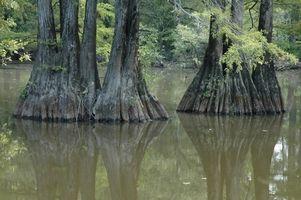 Lo ranas vivas en Cypress pantanos?
