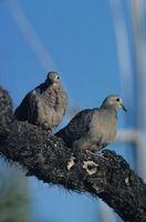 Cómo hacer un nido de paloma diamante