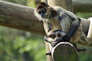 Las ideas del tatuaje del mono