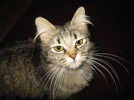 El tratamiento de la diarrea inducida por antibióticos en los gatos
