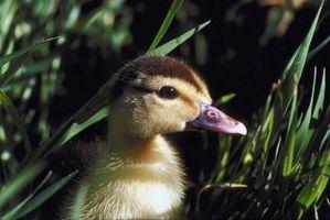 Cómo alimentar a los patos y Levante