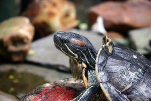 Los alimentos en su despensa Que una tortuga acuática puede comer