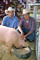 Cómo criar cerdos para Espectáculos