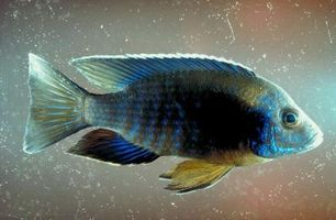 Cómo criar pescado pavo real