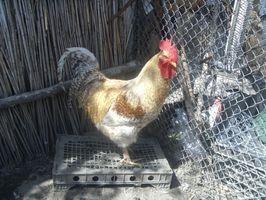 Cómo construir una casa para los pollos de pelea