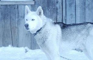 Se usa para tratar adecuadas para dar los perros esquimales siberianos