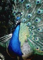 Cómo cuidar a un Real Peacock