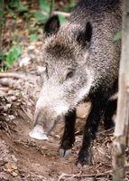 Reglamento sobre Cerdos salvajes en Florida