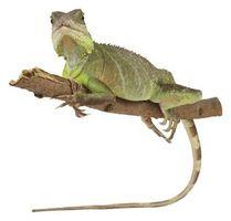 Iguanas en la selva tropical