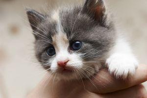 ¿Qué causa los oídos del gatito con Costras?