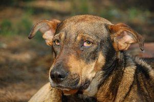 Cómo controlar el exceso de bilis en un perro