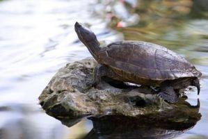 Puede tortugas vivas en el mismo acuario como salamandras tigre?